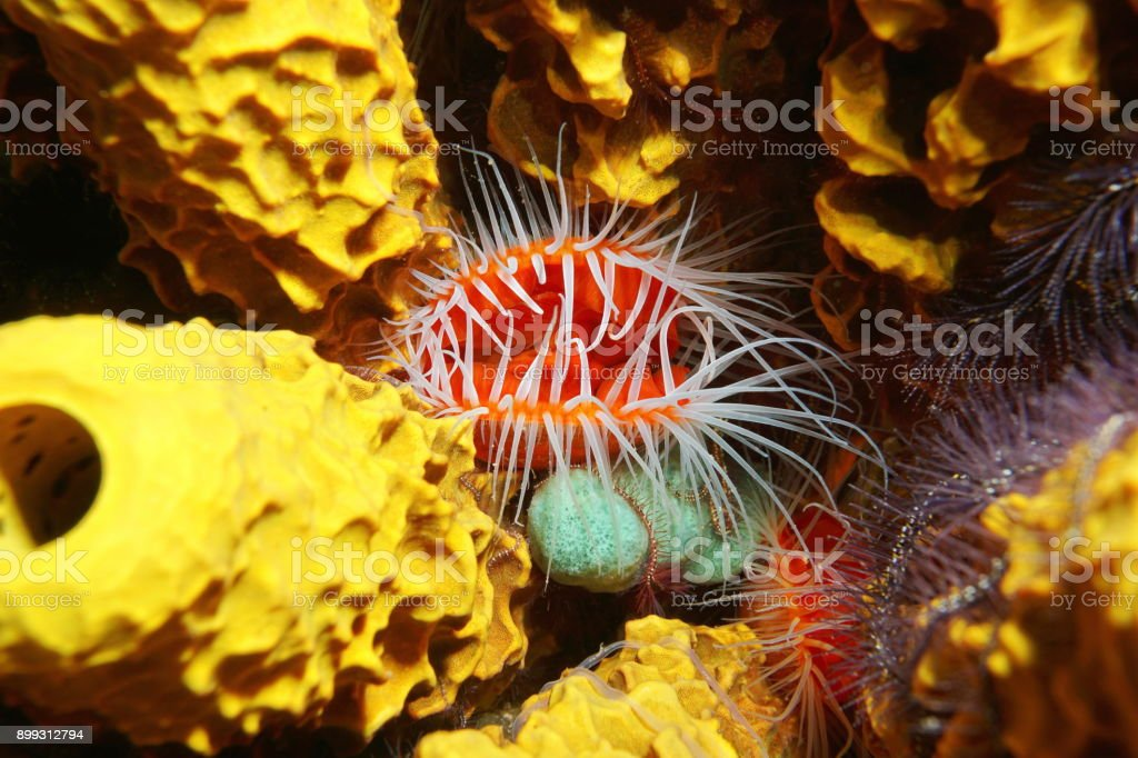 Flame scallop Ctenoides scaber underwater sea stock photo