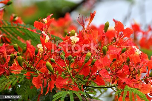 """Delonix regia, also known as Flame tree, Royal Poinciana, Flamboyant tree and Peacock flower, is a species of flowering plant and is one of several trees known as """"flame tree."""" It is a member of the bean family and is noted for its flamboyant display of red flowers."""