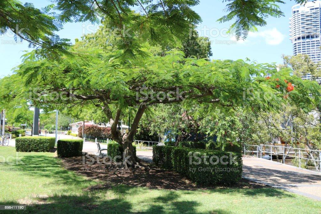 Flame tree or Delonix regia in Brisbane, Queensland Australia stock photo
