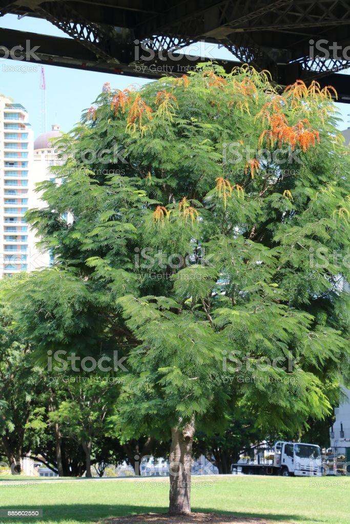 Flame tree or Delonix regia under the Story Bridge in Brisbane, Queensland Australia stock photo