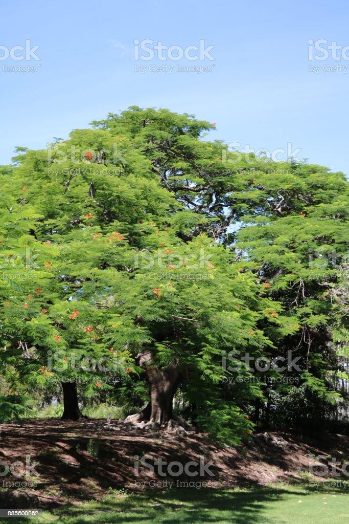 Flame trees at Kangaroo Point Brisbane, Queensland Australia stock photo