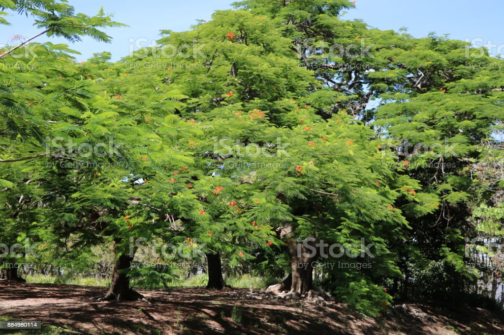 Flame trees or Delonix regia at Kangaroo Point Brisbane, Queensland Australia stock photo