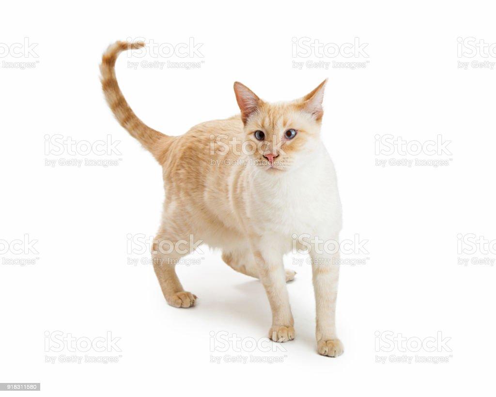 Flamepoint Siamese Orange Cat Stock Photo Download Image Now Istock