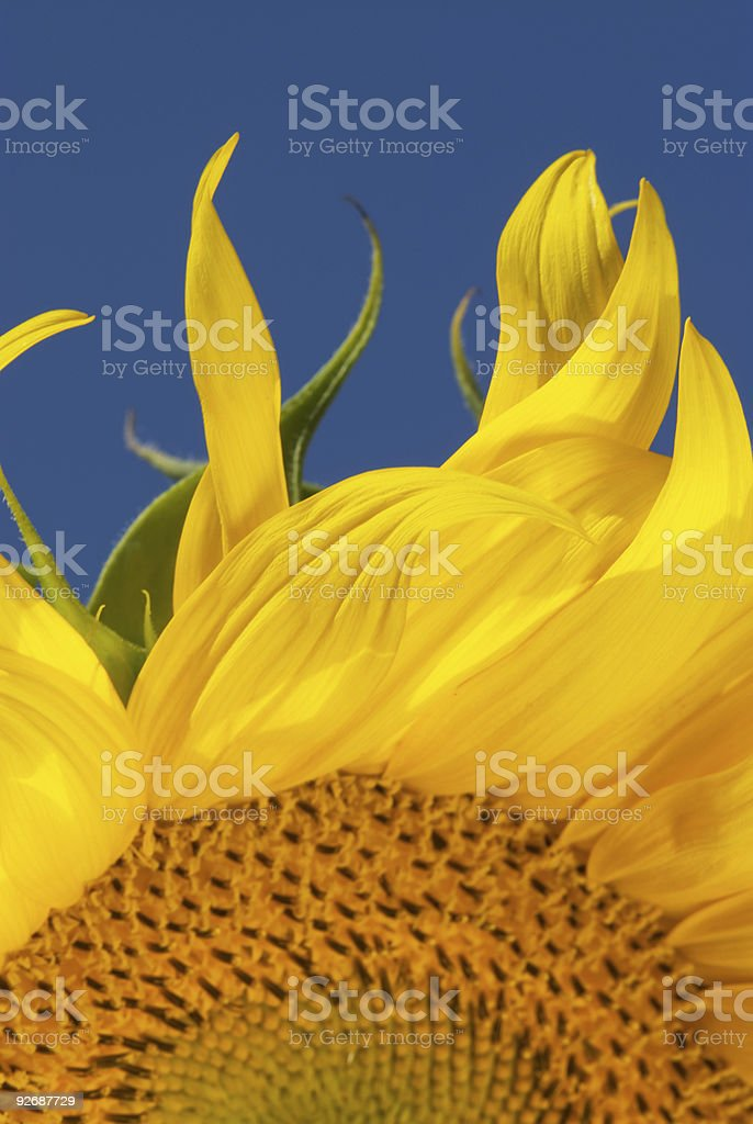 Flames of a sunflower royalty-free stock photo
