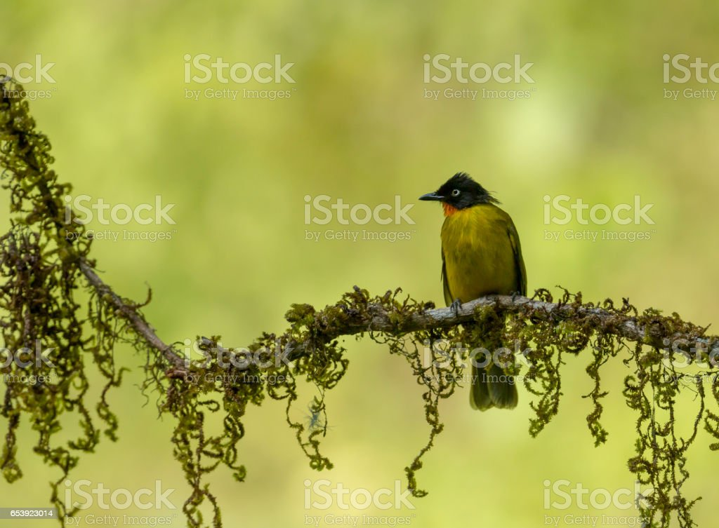 Flame-throated Bulbul stock photo