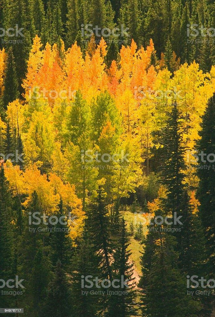 Flaming Aspen Grove royalty-free stock photo