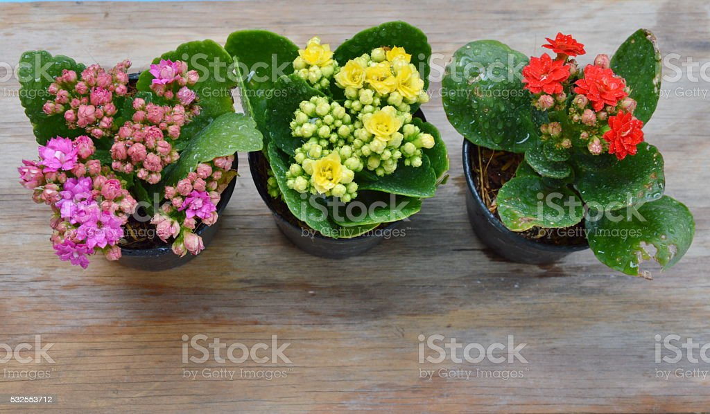 Flaming Katy many color in flower pot on wooden board stock photo