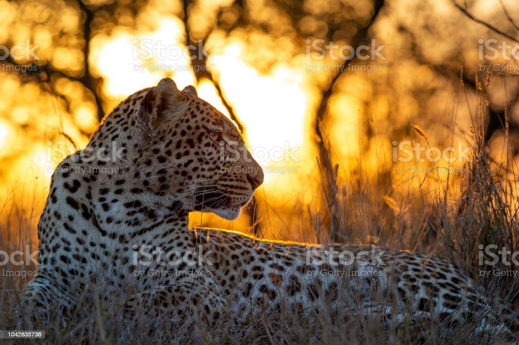 Flaming Leopard stock photo