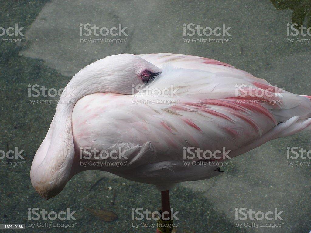 Flamingo Asleep royalty-free stock photo