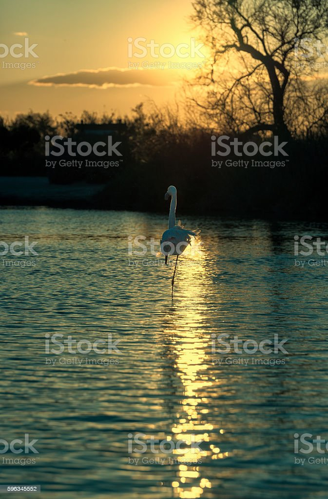 Fenicottero al tramonto, Camargue, Francia royalty-free stock photo
