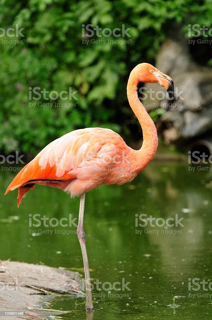 Flamingo at the shore stock photo
