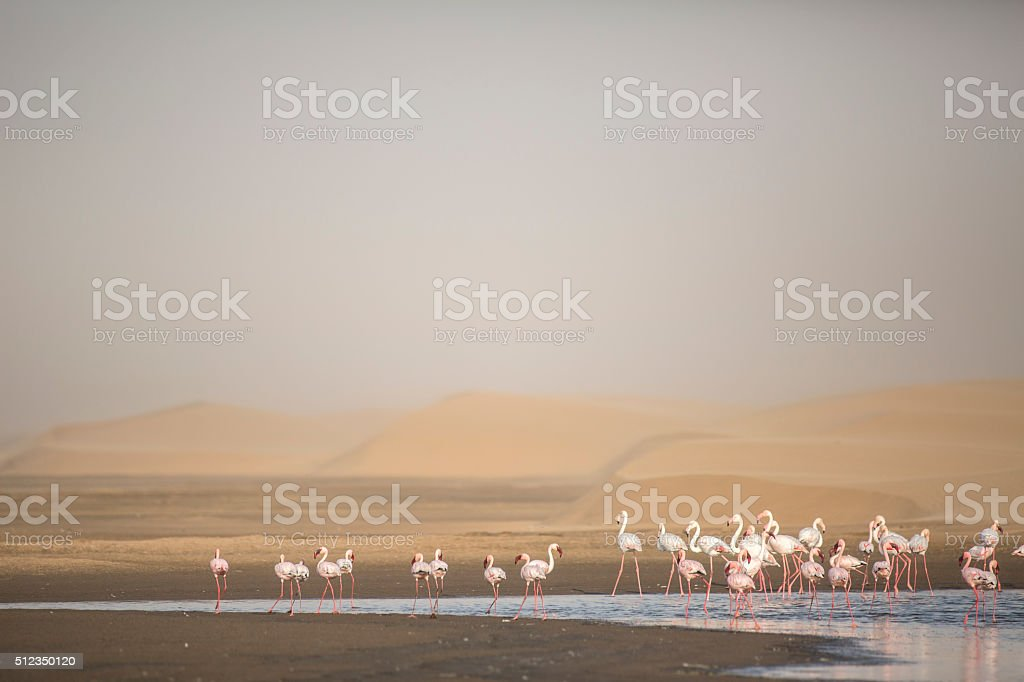 Flamingo at the Walvis Bay wetland. stock photo