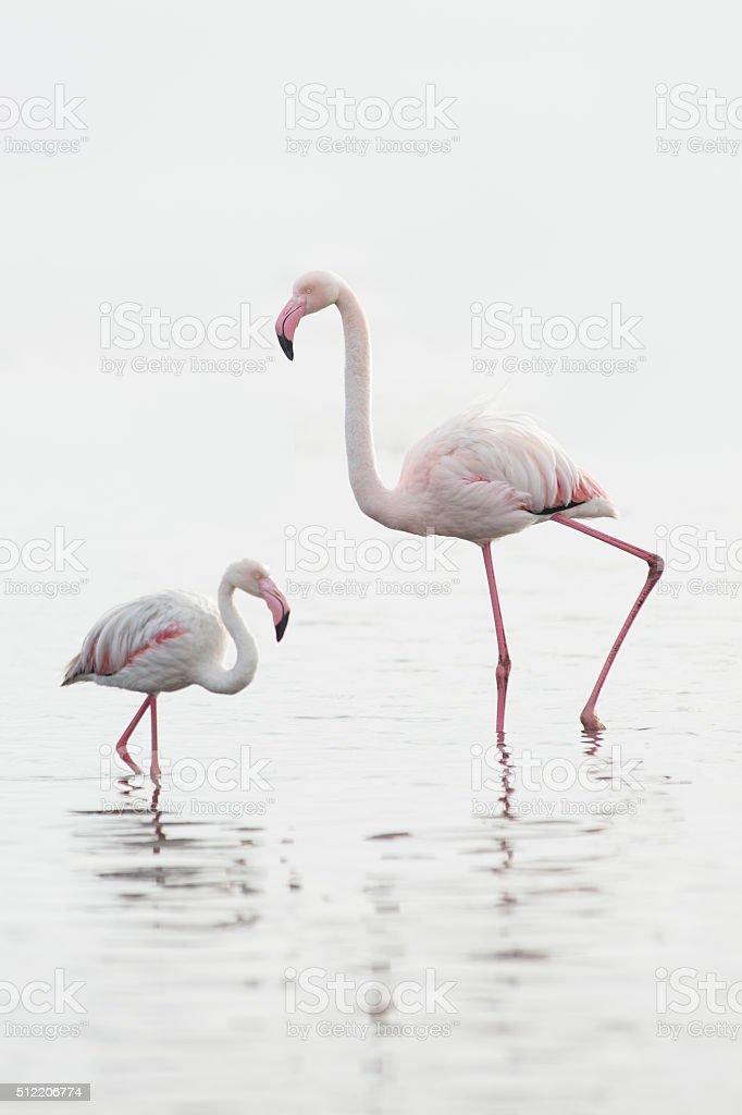 Flamingo at Walvis Bay wetland. stock photo