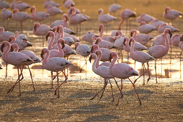 Flamingo at Walvis Bay wetland