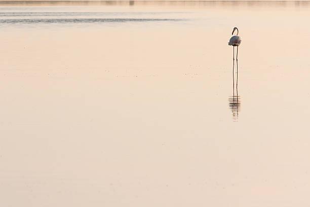 Flamingo posterior - foto de stock