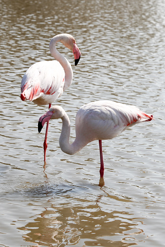 Flamingo Bird Standing In Water Stock Photo - Download Image Now