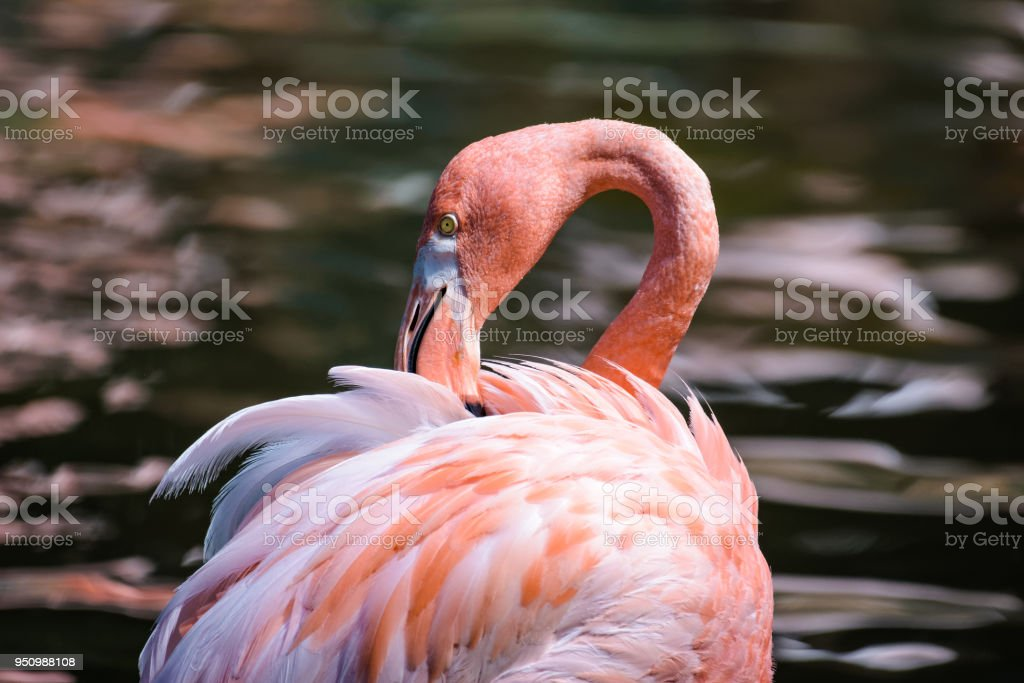 Flamingo cleaning its feathers in a pond stock photo