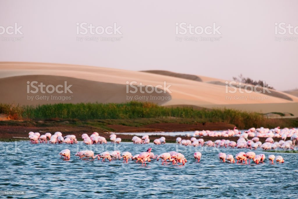 Flamingo-Kolonie in Walvis Bay – Foto