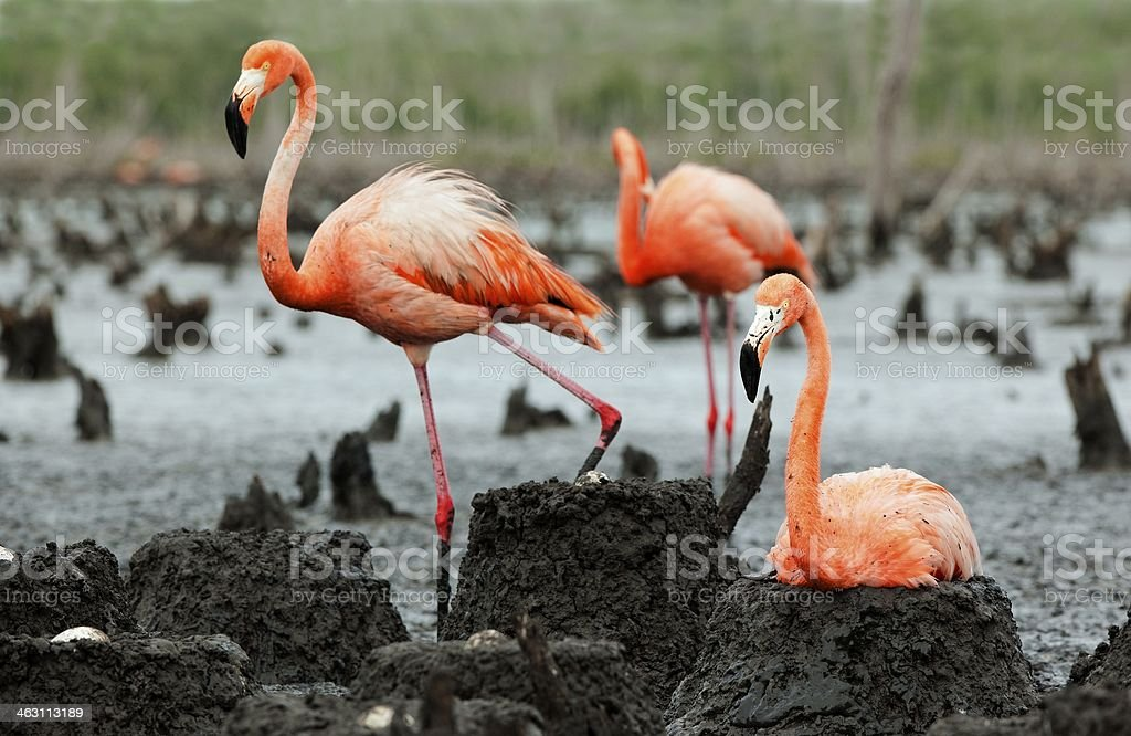 Flamingo (Phoenicopterus ruber) colony. royalty-free stock photo