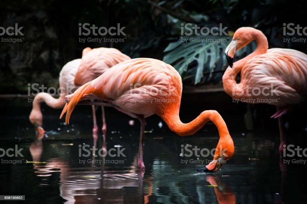 Flamingo Drinking Water stock photo