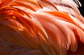 Close-up of flamingo feather on the back and wings