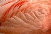 Chilean flamingo feathers looking at the side view.
