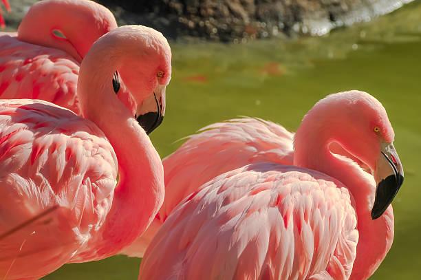 Flamingo Group stock photo