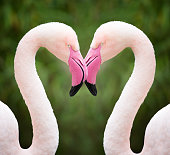 Two Flamingos holding there beaks in heart shape. Nikon D810. Converted from RAW. Great Detail.