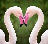 フラミンゴハート、愛