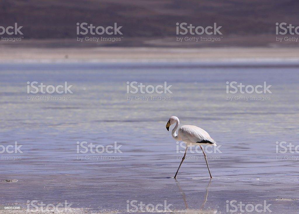 Flamingo in Bolivia Altiplano royalty-free stock photo
