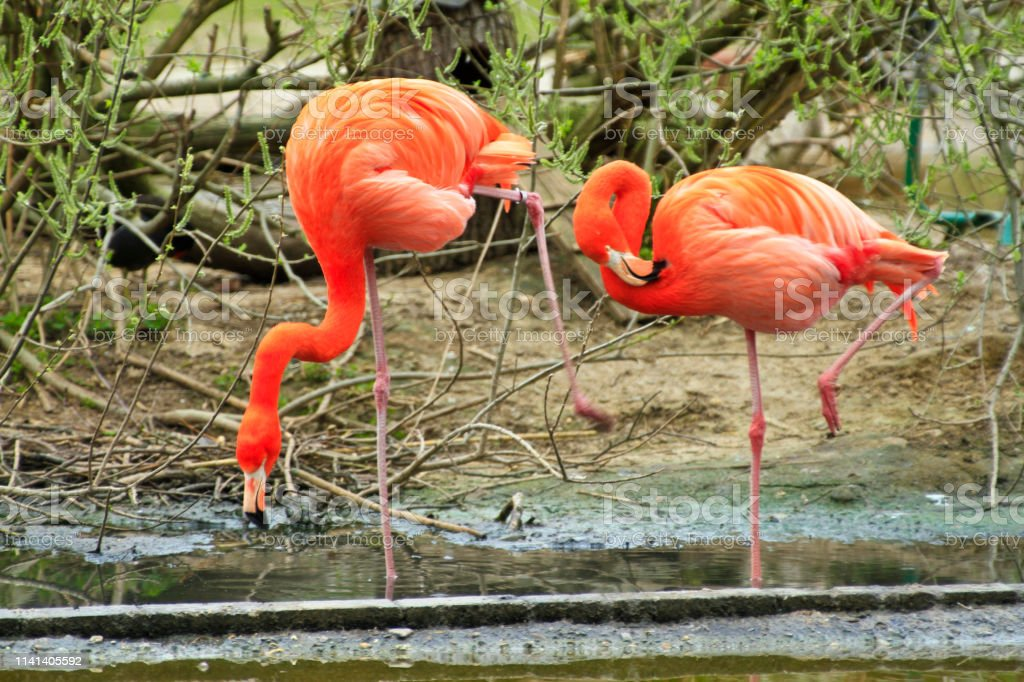 Flamingos Deutschland