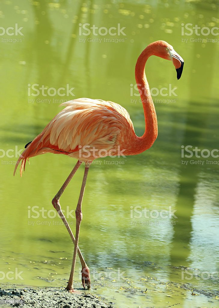 flamingo in water stock photo