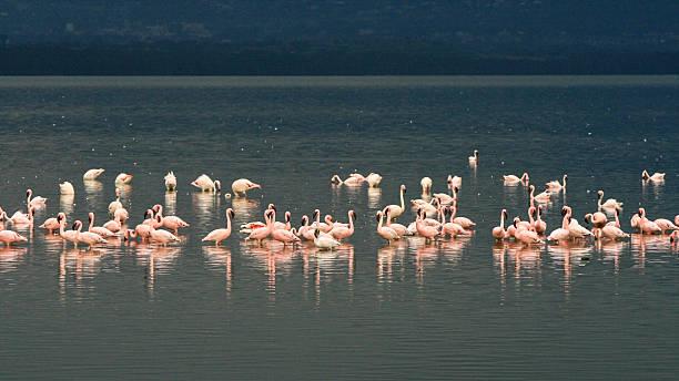 Flamingo, lake Nakuru, Kenya stock photo