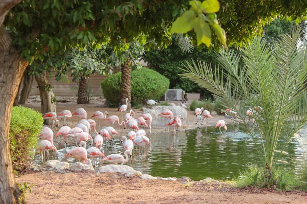 flamingo mangrove nationalpark abu dhabi in den vereinigten arabischen emiraten. - wasserfledermaus stock-fotos und bilder