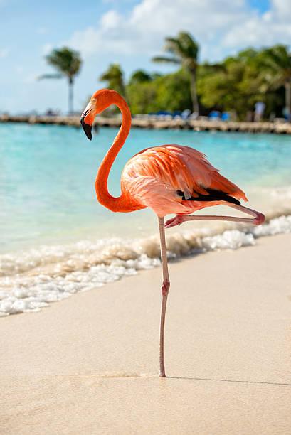 flamingo on a beach - aruba stockfoto's en -beelden