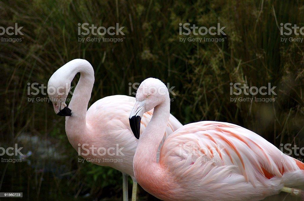 Flamingo Pair royalty-free stock photo