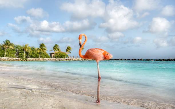 flamingo - aruba stockfoto's en -beelden