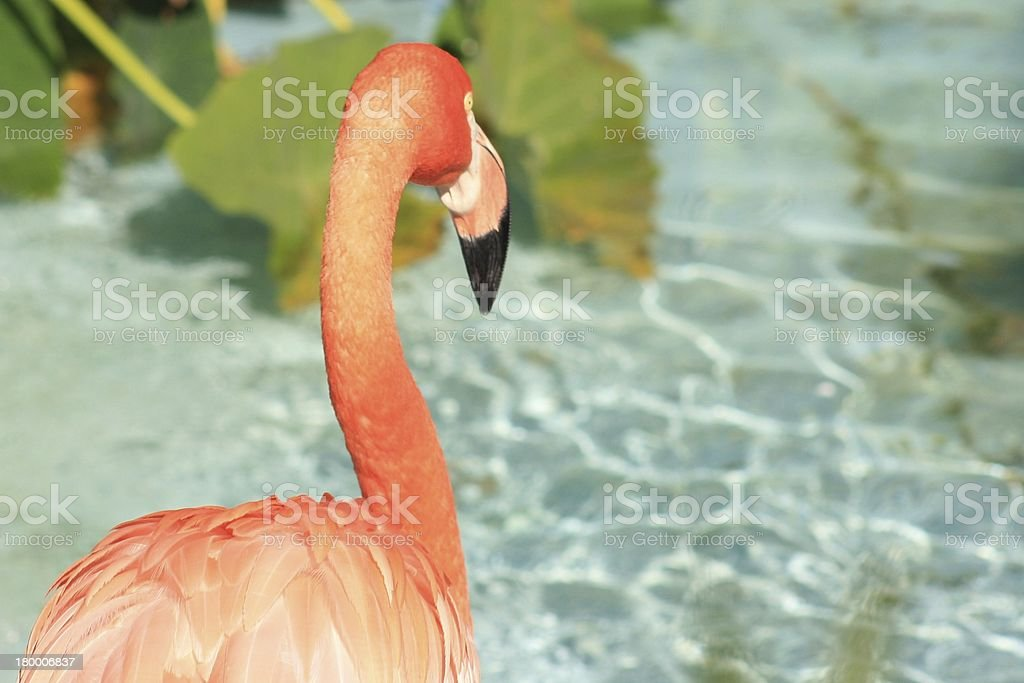 Flamingo royalty-free 스톡 사진