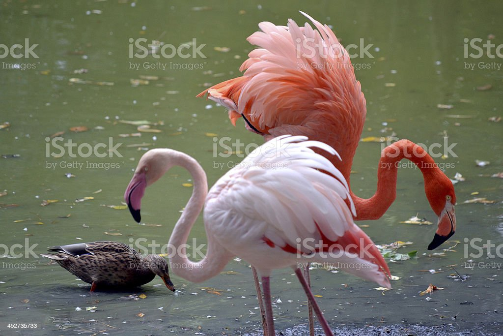flamingo royalty-free stock photo