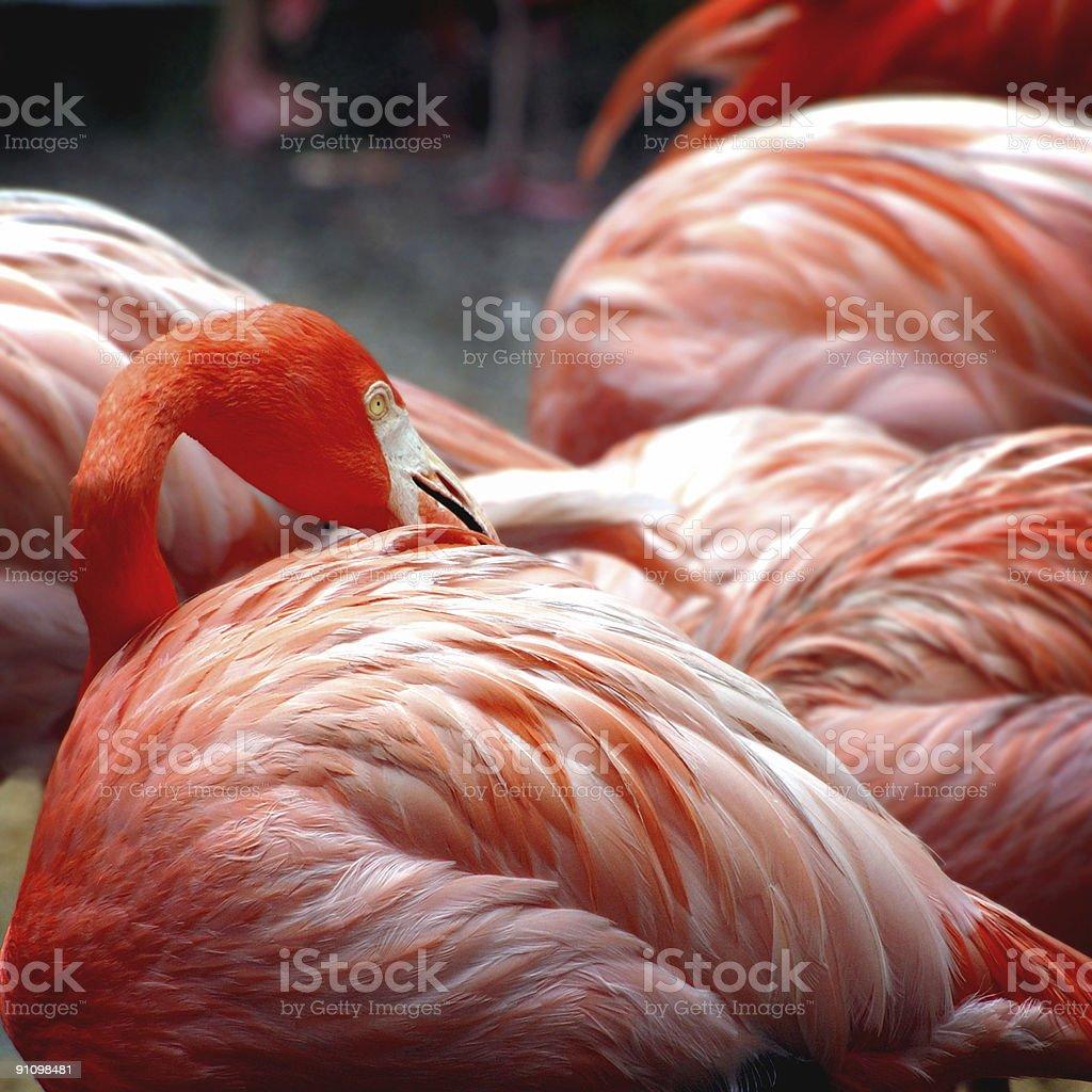 Flamingo royalty-free stock photo