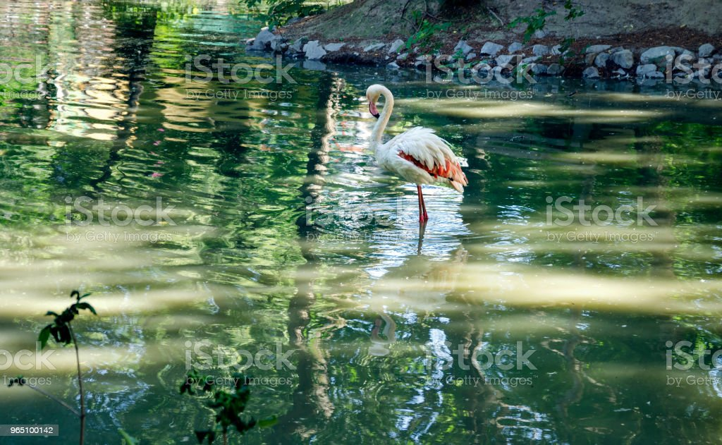 flamingo pink on the shore of the pond zbiór zdjęć royalty-free