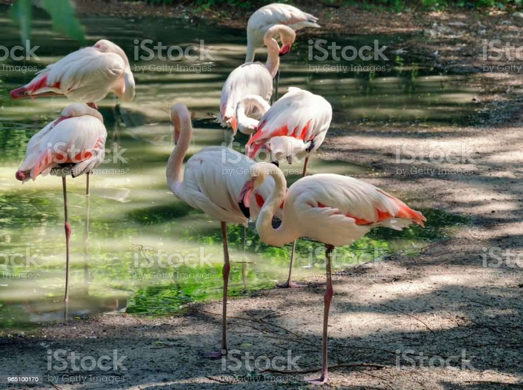 flamingo pink on the shore of the pond royalty-free stock photo