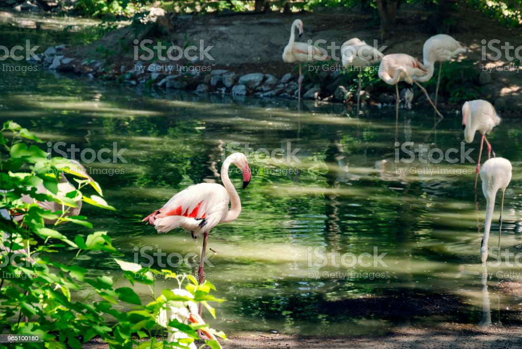 flamingo pink on the shore of the pond zbiór zdjęć royalty-free