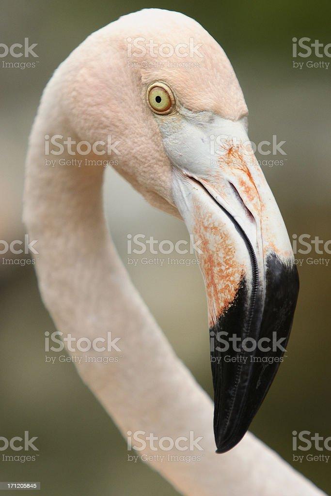 Flamingo Portrait stock photo