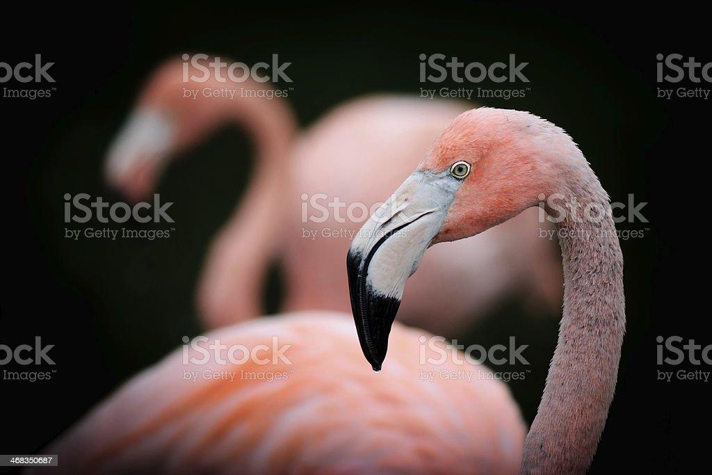 Flamingo Profile Portrait royalty-free stock photo