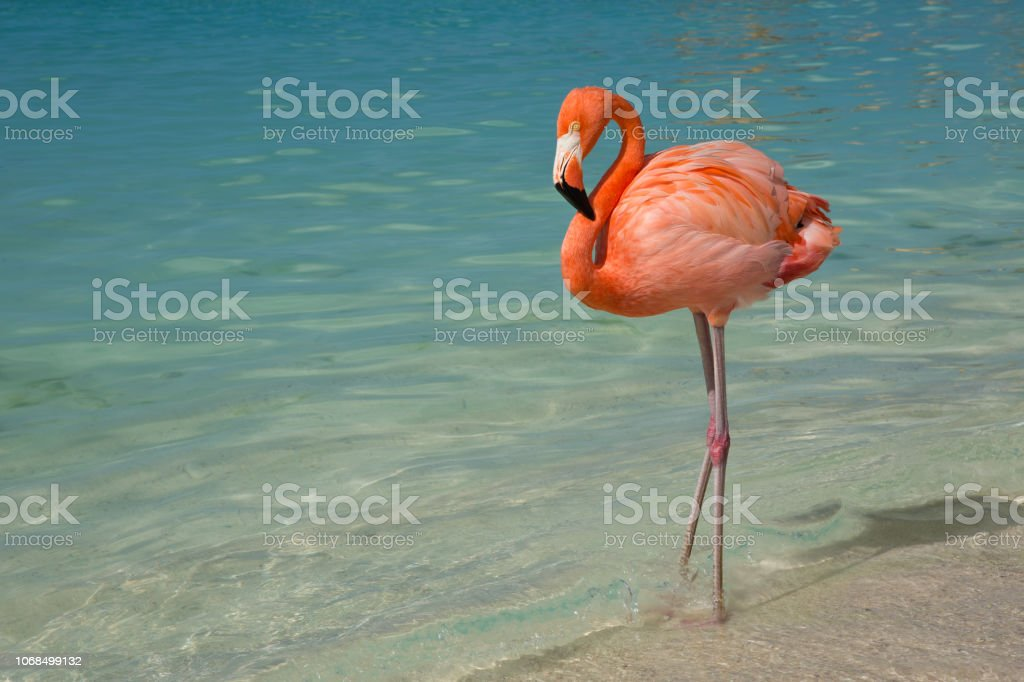 Flamingo standing in the ocean stock photo