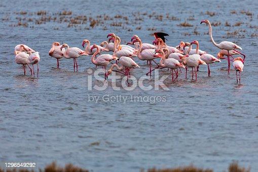 istock Flamingo standing in water of lagoon Kalochori. 1296549292