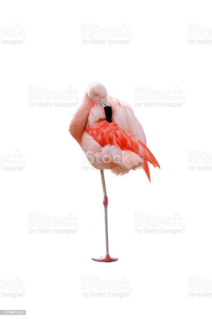 Flamingo standing stock photo