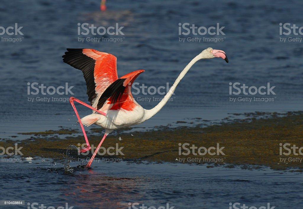 Flamingo take off stock photo