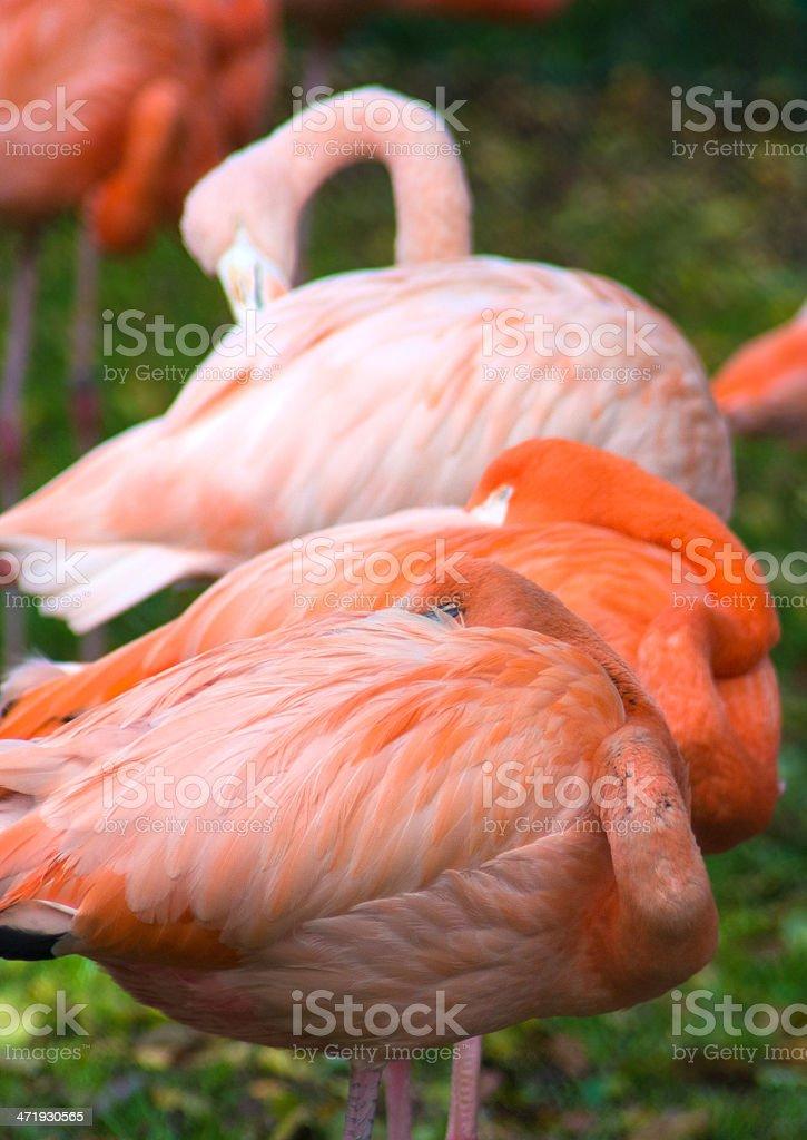 flamingo vertical royalty-free stock photo
